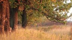 Oaks trunks in rays of evening sun Stock Footage