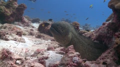 Yellow-margined moray eel Cocos Costa Rica Stock Footage