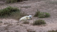 Grey Seal Pup Stock Footage