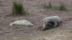 Grey Seal Cow and Pup Stock Footage