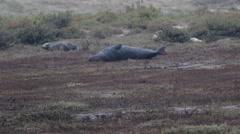 Grey Seal Bull Stock Footage