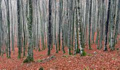 beech forest in autum - stock photo