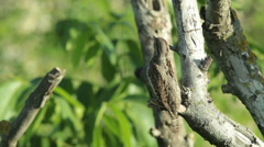 Bird Eurasian Wryneck (Jynx torquilla) perching on a branch and singing Stock Footage