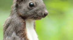 Red squirrel eating seeds in the forest, portrait shot Stock Footage