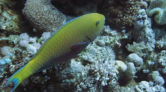 Rusty parrotfish (Scarus ferrugineus) and cleaner wrasse Stock Footage