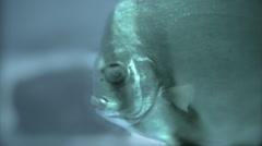 Grainy fish closeup. - stock footage