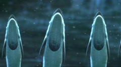 Remoras, also called sharksuckers. Stock Footage