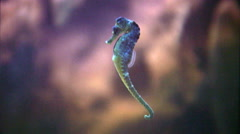 Sea horse. - stock footage