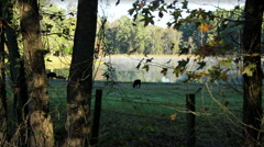 Early Morning Angus Cattle Grazing By Pond Stock Footage