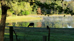 Early Morning Angus Cattle Grazing Pond Fog - stock footage