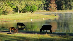 Early Morning Angus Cattle Drinking from Pond Stock Footage