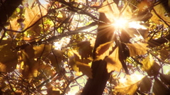 Sun shining through leaves background. Golden. Loop. Stock Footage