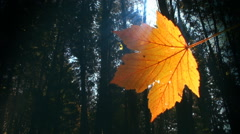 Single leaf with sun shining through and forest in the background. Autumn. Loop. Stock Footage