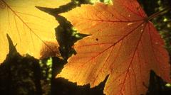 Two yellow leaves. Loop. Stock Footage