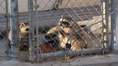 Raccoon Family Stock Footage