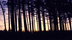 Autumn forest row of trees glowing in early morning sunrise - stock footage