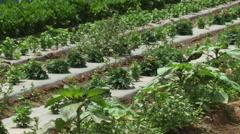 Vegetable Farm - stock footage