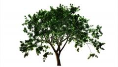 Timelapse of a growing tree on white background. Stock Footage