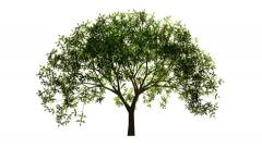 Timelapse of a growing tree on white background. Version 2. Stock Footage
