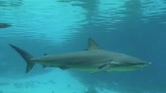 Reef sharks - stock footage
