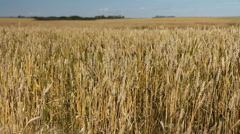 Field of wheat. Saskatchewan, Canada. Stock Footage
