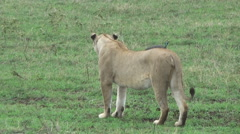 Big calm lioness walking on grass, Tanzania, Africa Stock Footage