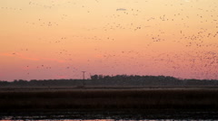 Water Fowl at sunset Stock Footage