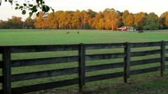 Horses Grazing Grass Sundown Stock Footage