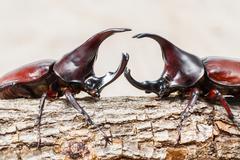 Fighting beetle Stock Photos