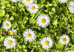 Stock Photo of daisies in a meadow, closeup