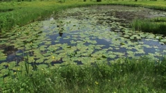 Pan pond with Spatterdock, Nuphar lutea blooming above the water surface Stock Footage