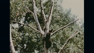 Bears climbing tree in Lincoln National Forest Stock Footage