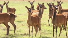 Frightened herd of deer, argodom, New Zealand - stock footage