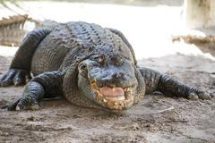 alligator  everglades - stock photo