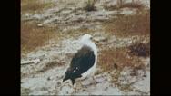 Laysan albatross walking on sand Stock Footage