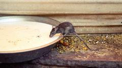 Rat drinking milk from a bowl at Karni Mata Temple, India. Stock Footage