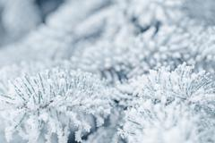 Stock Photo of frosty fir twigs in winter covered with rime