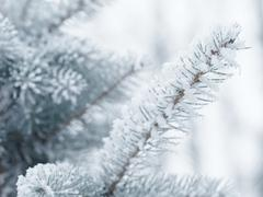 Frosty fir twigs in winter covered with rime Stock Photos