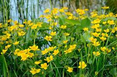 Marsh marigold (caltha palustris) Stock Photos