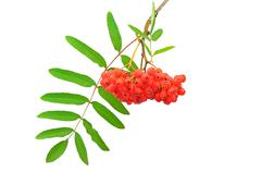 Stock Photo of branch of the rowan berries