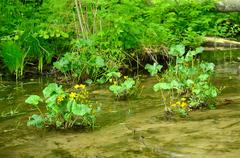 Marsh marigold (caltha palustris) flowers Stock Photos
