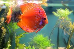 Discus fish in the aquarium Stock Photos