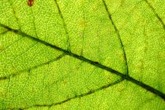 Green leaf vein Stock Photos