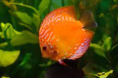 Orange discus Stock Photos