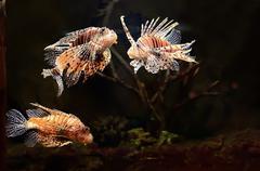 Red lion (pterois miles) fish Kuvituskuvat