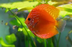 red discus fish - stock photo