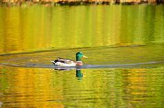 The mallard duck on the pond Stock Photos