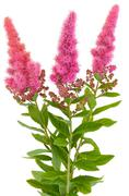 bouquet of astilbe flowers - stock photo