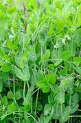 the young stems of peas - stock photo