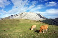 cows grazin in urkiola mountains. basque country - stock photo